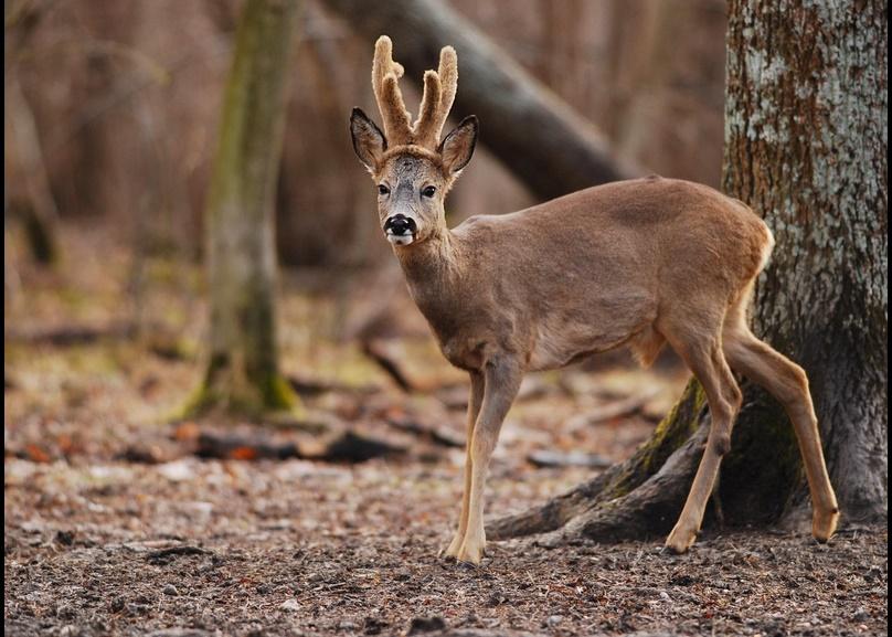 Saison de chasse 2015 / 2016 : tir du chevreuil d'été et lachers de gibier