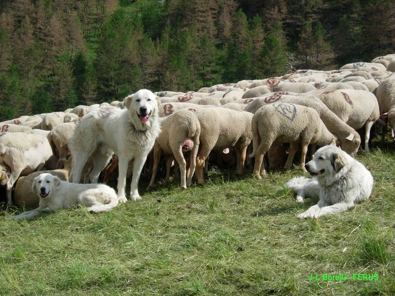 Le chien de protection de troupeau et le droit